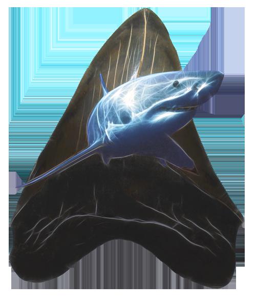Купить в Москве зуб акулы Мегалодон