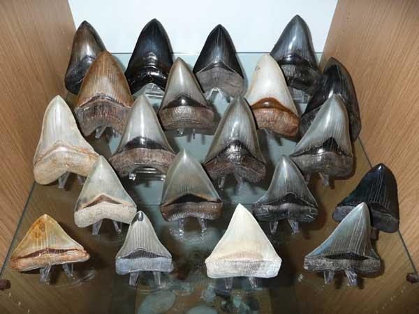 Зуб акулы Мегалодона на рабочем столе
