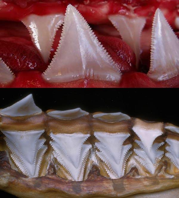 Фото зубов акулы