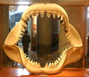 Челюсть акулы Мегалодон