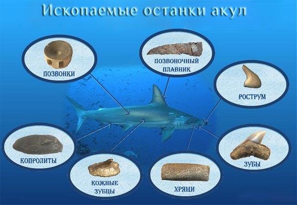 Окаменелости акул